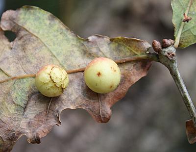 egetræets frugter