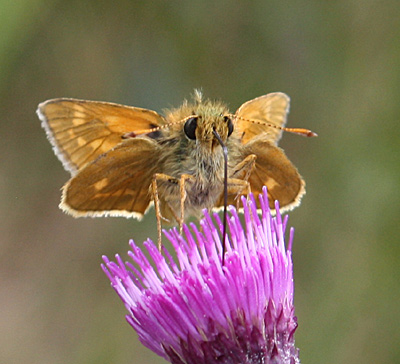 grønt stort insekt med vinger